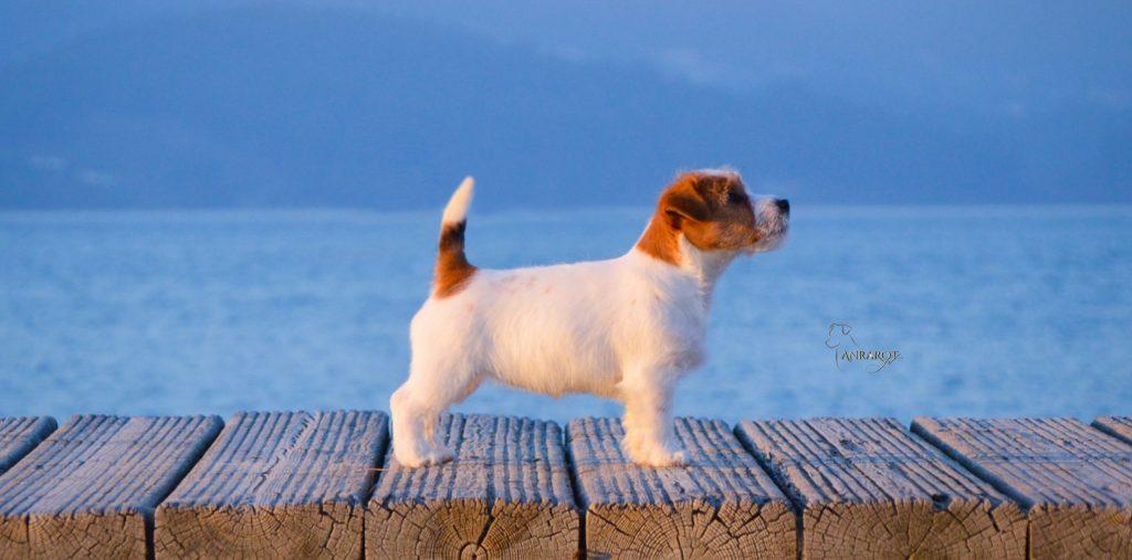 Jack Russell Terrier de pelo duro